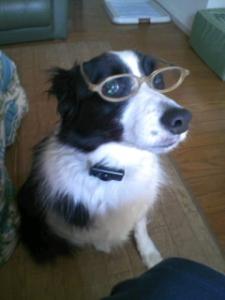 stella border collie glasses