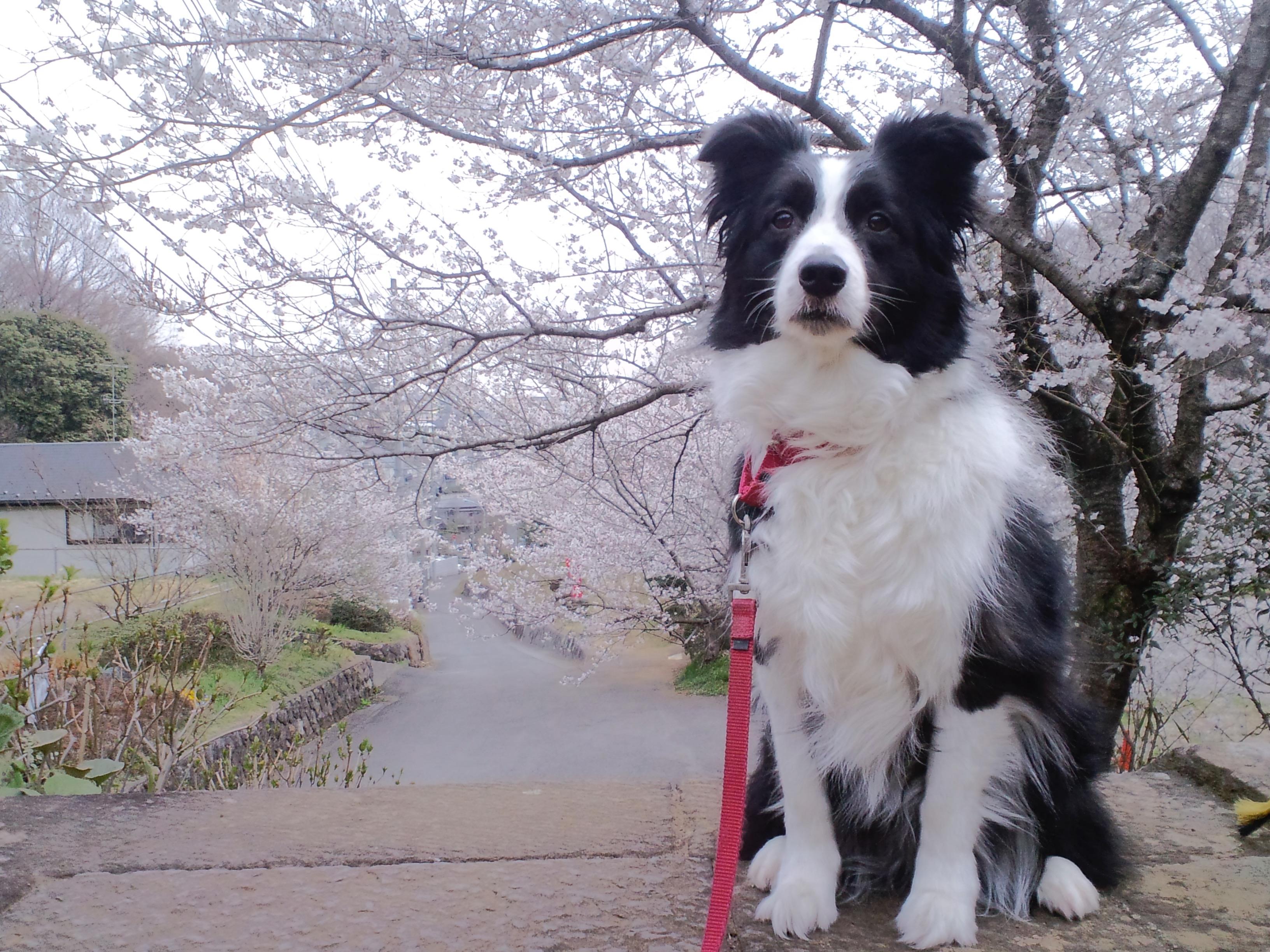 stella border collie sakura